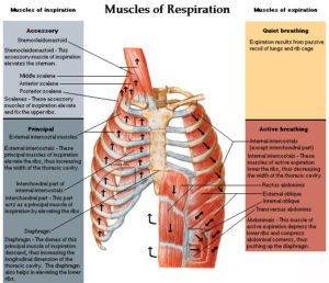 muscles-of-respiration-300x258.jpg